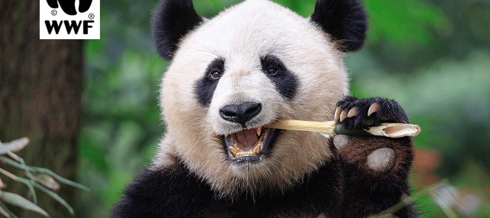 What do translators and pandas have in common?